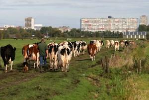 Koeien met de stad op de achtergrond